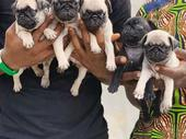 8weeks pug available for sale