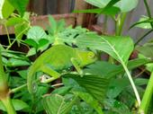 Very special rare breed Chameleon