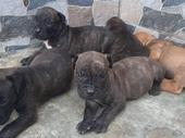 Adorable Boerboel puppies are very Available