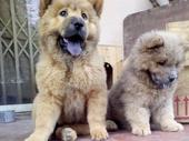 Chow chow Dog for sale