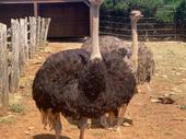 Giant Ostriches