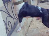 Matured male Pitbull terrier ready for stud services