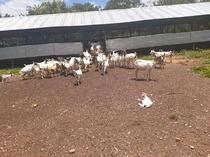 Hybrid goats for sale