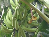 you can plant 1acre of hybrid plantain and make money for life