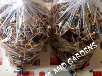 Tenera Oilpalm sprouted  nuts