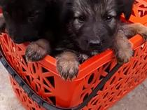 5 weeks GSD purebred puppies