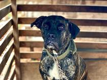Boerboel for new home