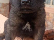 Caucasian and Rottweiler mixed breed puppy for sale
